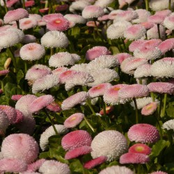 Stokrotka pomponowa różowa