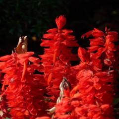 Szałwia błyszcząca Scarlet Piccolo-Salvia splendens