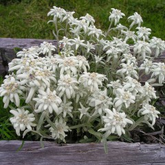 Szarotka alpejska-Leontopodium alpinum