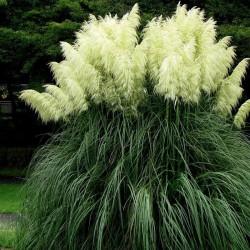 Trawa pampasowa biała