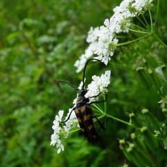 Trybuła ogrodowa-Anthriscus cerefolium