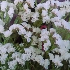 Zatrwian wrębny biały-Limonium sinuatum