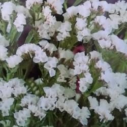 Zatrwian wrębny biały