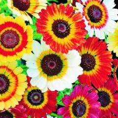 Złocień trójbarwny-Chrysanthemum carinatum