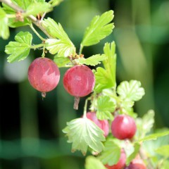 Agrest Hinnonmaki-Ribes uva-crispa 'Hinnonmaki'