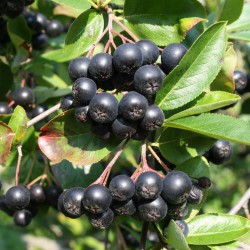 Aronia czarna