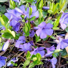 Barwinek pospolity Illumination Cahill-Vinca minor ILLUMINATION Cahill
