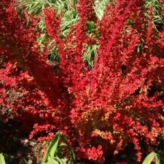 Berberys thunberga Flame-Berberis thunbergii Flame