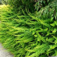 Berberys thunberga Green Carpet-Berberis thunbergii Green Carpet