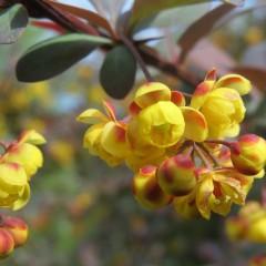 Berberys ottawski Superba-Berberis x ottawensis Superba