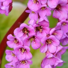 Bergenia sercolistna-Bergenia cordifolia