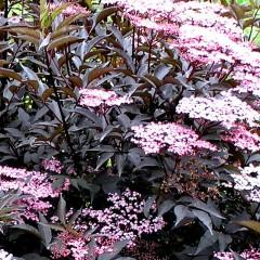 Bez czarny Black-Sambucus nigra