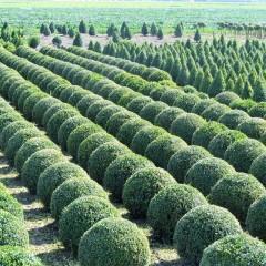 Bukszpan zimozielony-Buxus sempervirens