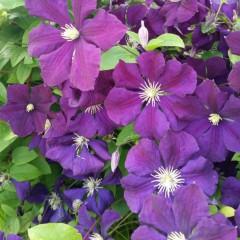 Powojnik Etoile Violette-Clematis Etoile Violette