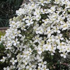 Powojnik Montana Grandiflora-Clematis Montana Grandiflora
