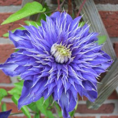 Powojnik Multi Blue-Clematis Multi Blue