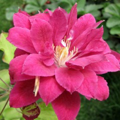 Powojnik Red Star-Clematis Red Star