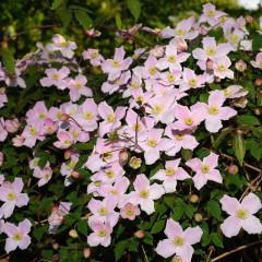 Powojnik montana var. rubens-Clematis montana var. rubens