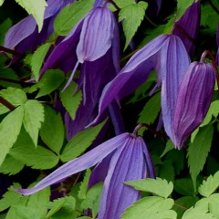 Powojnik Purple Spider-Clematis Purple Spider
