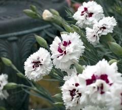 Goździk pierzasty, postrzępiony Ine-Dianthus plumarius Ine