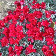 Goździk siny czerwony Rubin-Dianthus gratianopolitanus Rubin
