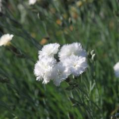 Goździk pierzasty, postrzępiony biały-Dianthus gratianopolitanus
