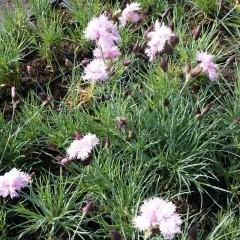 Goździk siny różowy Eydangerii-Dianthus gratianopolitanus Eydangerii