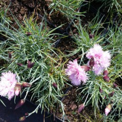 Goździk pierzasty, postrzępiony różowy