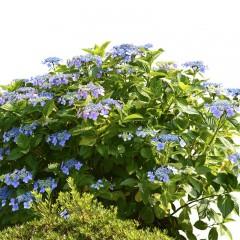 Hortensja piłkowana Bluebird-Hydrangea serrata bluebird