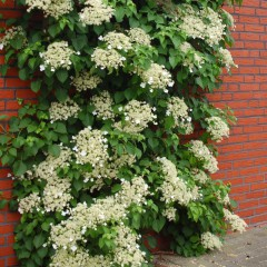 Hortensja pnąca-Hydrangea petiolaris