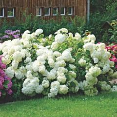 Hortensja krzaczasta Annabelle-Hydrangea arborescens Annabelle