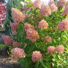 Hortensja bukietowa Pink Diamond-Hydrangea paniculata Pink Diamond