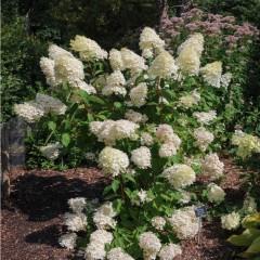 Hortensja bukietowa Silver Dollar-Hydrangea paniculata Silver Dollar