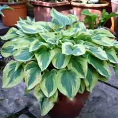 Funkia Golden Tiara-Hosta Golden Tiara