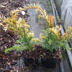 Cis pospolity Elegantissima-Taxus baccata Elegantissima