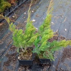 Jałowiec Pfitzera Mint Julep-Juniperus x pfitzeriana Mint Julep