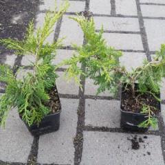 Jałowiec Pfitzera Pfitzeriana Aurea-Juniperus x pfitzeriana