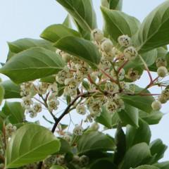 Kiwi Aktinidia Male męska-Actinidia arguta Male m