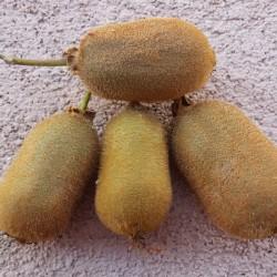 Kiwi Aktinidia smakowita Jenny obupłciowa