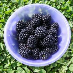 Jeżyna bezkolcowa Black Satin-Rubus fruticosus Black Satin