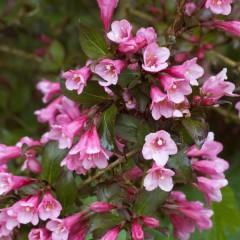 Krzewuszka cudowna Foliis Purpureis-Weigela florida Foliis Purpureis