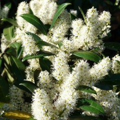 Laurowiśnia wschodnia-Prunus laurocerasus