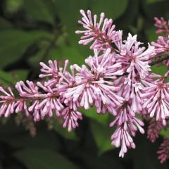 Lilak węgierski-Syringa josikaea