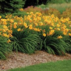 Liliowiec ogrodowy-Hemerocallis hybrida
