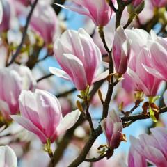 Magnolia George Henry Kern-Magnolia George Henry Kern