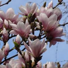 Magnolia loebnera Leonard Messel-Magnolia loebneri Leonard Messel