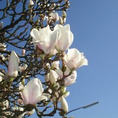 Magnolia loebnera Merrill-Magnolia loebneri Merrill