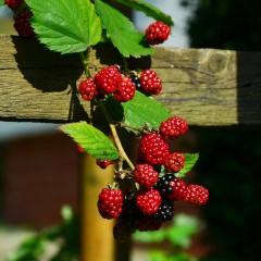 Malinojeżyna bezkolcowa-Rubus