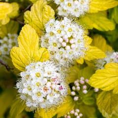 Pęcherznica kalinolistna Luteus-Physocarpus opulifolius