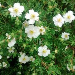 Pięciornik krzewiasty Abbotswood-Potentilla fruticosa Abbotswood
